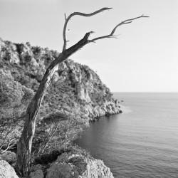 Toter Baum in den Klippen über Sant Elm, Mallorca